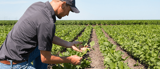 A Virginia farmer examines his crops in the field